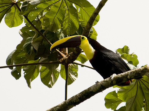 Toucan.  Not King Billed...  What's the other?