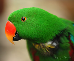 Green Parrot (Eclectus Parrot) ( DocBudie) Tags: red orange green bird yellow colorful greenparrot burung klbirdpark eclectusparrot kakaktua colorphotoaward burungkakaktua tropicaliving goldstaraward