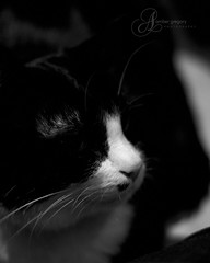 ... (359/366) (amber {in the shadow of za'ha'dum}) Tags: christmas bw cats holidays bokeh tuxedo zeke 2008 notmycamera 50mmf18 scottscamera 2008yip