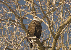From The Top (Stef Dreher Photography) Tags: bird river eagle iowa mississippiriver leclaire