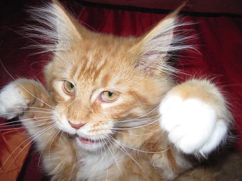 フリー写真素材, 動物, 哺乳類, ネコ科, 猫・ネコ, パンチ,