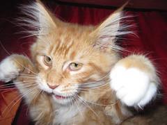 [フリー画像] 動物, 哺乳類, ネコ科, 猫・ネコ, パンチ, 201005021100