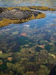A Multitude Of Seaweeds (Derbyshire Harrier) Tags: seaweed scotland spring sutherland clearwater rockpool 2011 oldshoremore