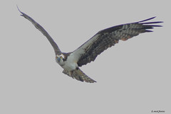 OSPREY (t.rex7000) Tags: bird alabama waterbird raptor osprey birdinflight mobiletensawdelta trex7000