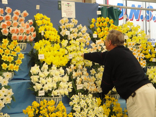 Daffodil display prep (2)
