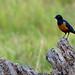 Amboseli, Hildebrandt's Starling