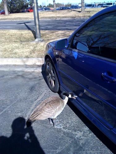 Goose Pecking Car