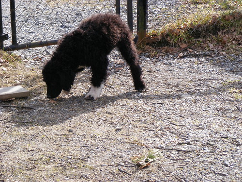 Portuguese Water Dog Puppy. Teddy the Portuguese Water Dog