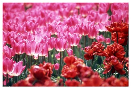 Tulip 080424 #02