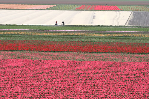cycling through fields of hyacinths and tulips