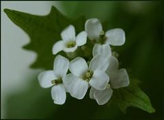 Crossing white (Kirsten M Lentoft) Tags: white flower bravo aplusphoto momse2600 flickrplatinum betterthangood life~asiseeit goodnightdearest mmuahhh awesomeblossoms happybirthdaycharlotte kirstenmlentoft