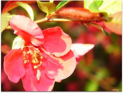 Flowering Quince in the sunshine
