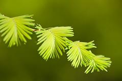 DSC_5526LR (macdane) Tags: plants michiganstateuniversity msu arboretum d300 dawnredwood 70200vr bokehwhores