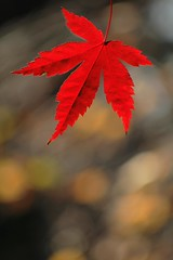 Alone (En_passant) Tags: autumn red leaf redleaf