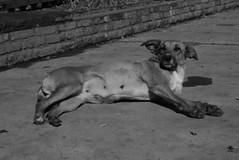 siesta (Analía Acerbo Arte) Tags: dog byn can perro siesta
