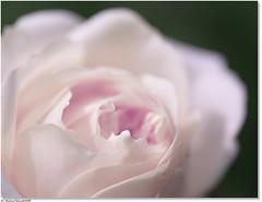~ inviolate ~ (tadelloeser ) Tags: macro rose aclass themoulinrouge naturesfinest blueribbonwinner d80 fineartphotos mywinners abigfave colorphotoaward diamondclassphotographer flickrdiamond tadelloeser fabulousflora highqualityimage
