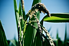Granos (joaquincorbalan) Tags: corn maiz mazorcas granos panochas