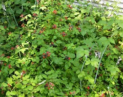 Lots of Black Raspberries