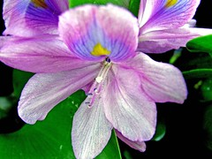water hyacinth... (sasithorn_s) Tags: nature soe cubism waterhyacinth fpc amazingcolor flowerotica fantasticflower golddragon worldbest anawesomeshot theperfectphotographer rubyphotographer fineartphoyo