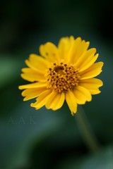 ..      (Creative_photography) Tags: flower macro yellow garden focus aak missyoumore summer2008