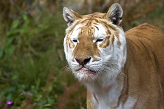 20080726_IsleOfWight_0044p.jpg (PhilHawley) Tags: zoo wildlife tiger isleofwight bigcats potofgold isleofwightzoo aplusphoto flickrbigcats