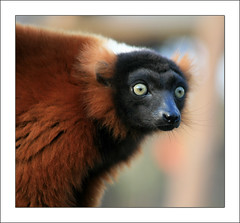 'Do you really think I should consult an ophthalmologist?' (PaPe01) Tags: red animals zoo tiere lemur rubra roter zoological vari lemures lemuren varecia diamondclassphotographer flickrdiamond damniwishidtakenthat vosplusbellesphotos