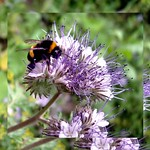 Bumble Bee on Phacelia thumbnail