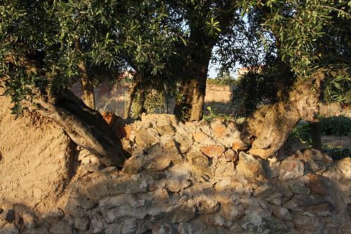 Tree grows through stone wall