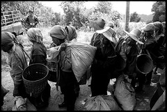 mae salong, northern thailand (avant1997) Tags: leica blackandwhite thailand maesalong teapicking