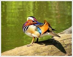 Mandarin Duck (YoursTruly2095) Tags: lake bird nature duck pond wildlife mandarinduck 1001nights aixgalericulata colorphotoaward slbsunning thewonderfulworldofbirds
