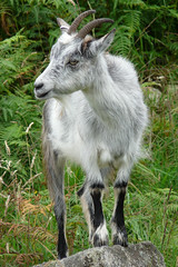 The lookout (Clare L H) Tags: uk nature scotland wildlife feralgoat supershot wildgoat animalkingdomelite clhall
