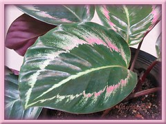 Variegated foliage of Calathea roseo picta cv. 'Eclipse' at our courtyard, August 2008