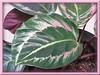 Calathea roseo picta cv. 'Eclipse' (Rose Painted Calathea, Rose Painted Prayer Plant)