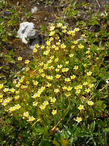 Moss Saxifage (Saxifraga moschata)
