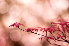 listen to the music of the moment... (~ geisha ~) Tags: red tree leaves maple bokeh branches seeme flickrmeet afp mttomah hbw