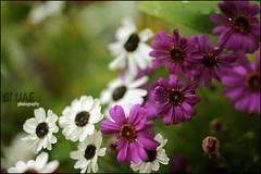 ( Maitha  Bint K) Tags: flowers nikon uae violet g1 d3