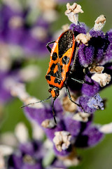 Beatle (Louis Herrey) Tags: insects beatle beatles