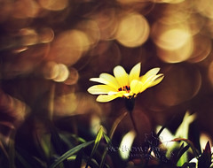 golden bokeh. (*northern star) Tags: plants flower verde green nature yellow canon garden 50mm gold golden bokeh natura explore giallo fiore piante firstshots giardino oro northernstar dorato explored donotsteal eos450d allrightsreserved primiscatti northernstarandthewhiterabbit northernstar tititu digitalrebelxsi eff18ii usewithoutpermissionisillegal northernstarphotography ifyouwannatakeitforpersonalusesnotcommercialusesjustask