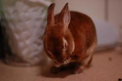DSC_9077 (choimakko) Tags: rabbit bunny