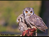 Bubitos (Mafr-Mcfa) Tags: owl buho tamron28300 cimdaligues specanimal mywinners abigfave goldenphotographer avianexcellence canoneos40d naturewatcher vosplusbellesphotos