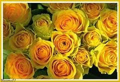 un bouquet de fleurs des roses jaunes / a bouquet of yellow roses (unicorn 81) Tags: flowers plants paris france color colour floral rose yellow geotagged flora frankreich colorful ledefrance colours blumen bouquet colourful capitale rosen coloured bouquetofflowers lafrance blten flowered mapfrance flowerscolors fotogaleriefrankreich