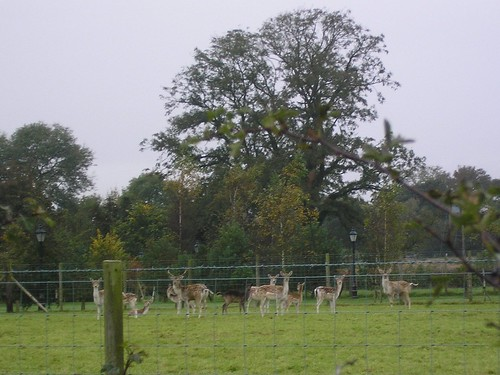 Deer just before Chingle Hall