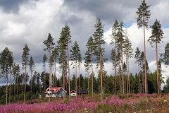 Karelian glad (Umberto Luparelli) Tags: flowers trees sky house grass clouds suomi finland pines karelia willowherb epilobium carelia anawesomeshot flickrdiamond goldstaraward