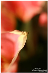 where to go? (love_llegado (on/off/busy/slowly catching up mode)) Tags: pink plant flower macro closeup focus dof stargazer petal shenzhen sigma1770mm canon400d lovellegado
