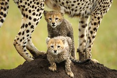 8. Shakira & two of her cubs (Lyndon Firman) Tags: africa kenya cheetah shakira masaimara acinonyxjubatus specanimal animalkingdomelite goldstaraward vosplusbellesphotos