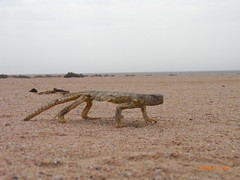 Starving dhab     (ibraay) Tags: desert hungry starving