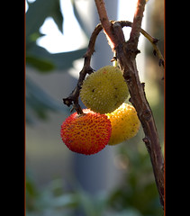 madroos /strawberry tree/ cireretes de pastor (Thithia :)) Tags: autumn color planta fall fruit fruta otoo strawberrytree arbusto madroos