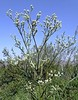 Sea Holly (Eryngium pandanifolium) ... SERRUCHETA ...... Original = (2208 x 2830) (turdusprosopis) Tags: eryngium apiaceae carda eryngiumpandanifolium cardilla caraguatá umbelíferas reservadevicentelópez reservaecológicadevicentelópez reservaecológicavicentelópez eryngiumdecaisneanum eryngiumlasseauxii eryngiumoligodon serrucheta