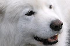 Seward Samoyed, Ak (moelynphotos) Tags: dog pet animal mammal samoyed domestic 5bestdogs whitedog earthanditsincredibleanimals opequenogigante–sómacro moelynphotos planetearthanimalsbirds thebestofcengizsqueezeme2groups rainbowelite