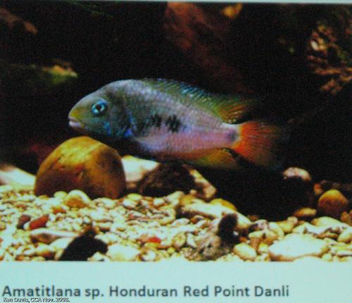 Amatitlana sp. Honduran Red Point Danli